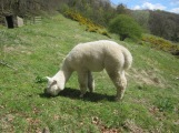 An Eyam Alpaca