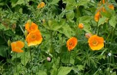 Poppies at Priestcliffe