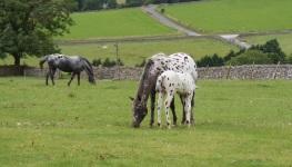 Appaloosa ponies