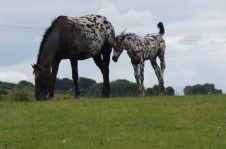 Appaloosa pony and foal