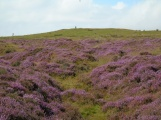 Heather on Eyam Moor