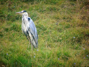 Grey Heron in Dovedale