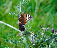 Painted Lady on a thistle
