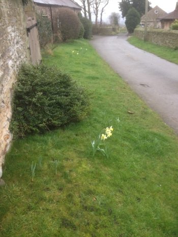 Early daffodils at Nether Handley