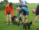 Playful lambs at Winster