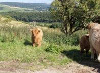 Highland calf at Peak Pasture