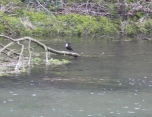 Dipper heaven, we saw six separate birds. (Mike coined the phrase Dipper fest).