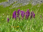 early wild orchids