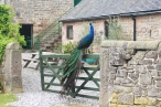 A Birchover peacock