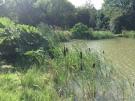 Barlow Fishery bullrushes